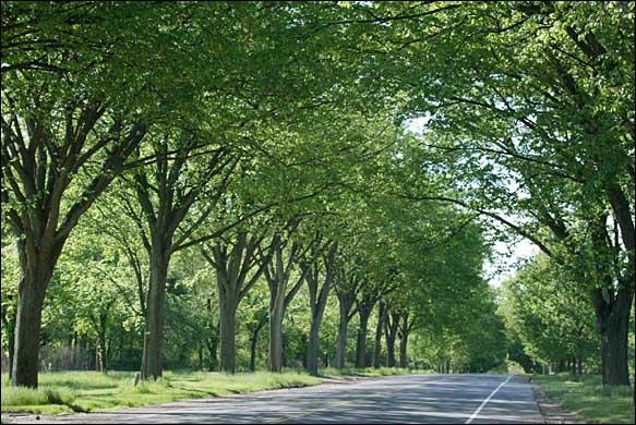 American Elm | B. Rocke Landscaping