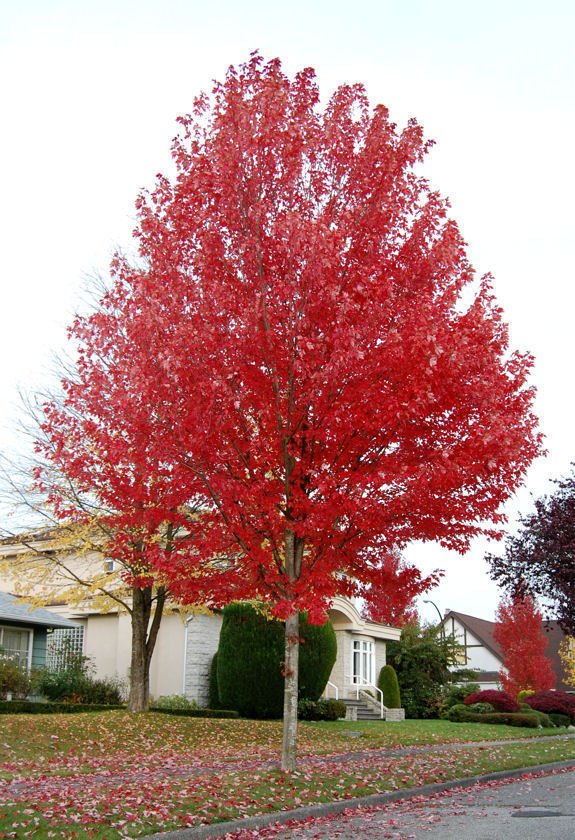 Common Fastgrowing Trees  B Rocke Landscaping. The Living Room Queen Creek. Long Narrow Living Room Fireplace Middle. Living Room Routine . Mathis Brothers Living Room Furniture Sofas. Small Living Room Chairs Canada. Decorating Living Room Red Couch. Living Room Window Table. Words Describe Living Room