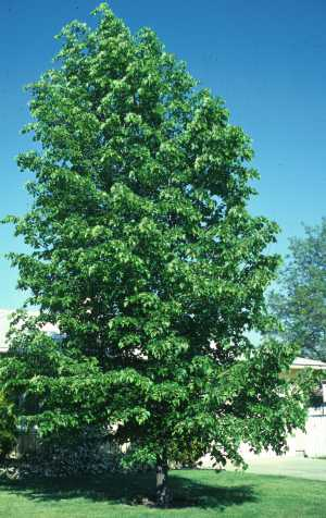 Hybrid Poplar Tree Common Fast-Growing Tr...