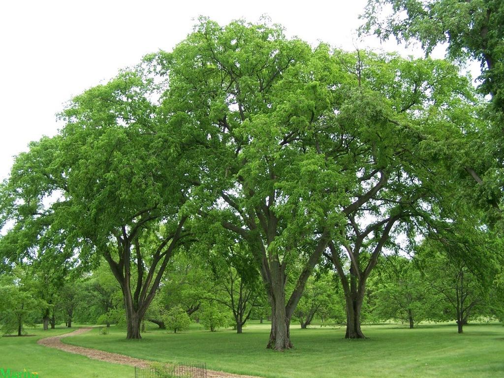 Landscaping Under Elm Trees : Elm trees b rocke landscaping winnipeg manitoba