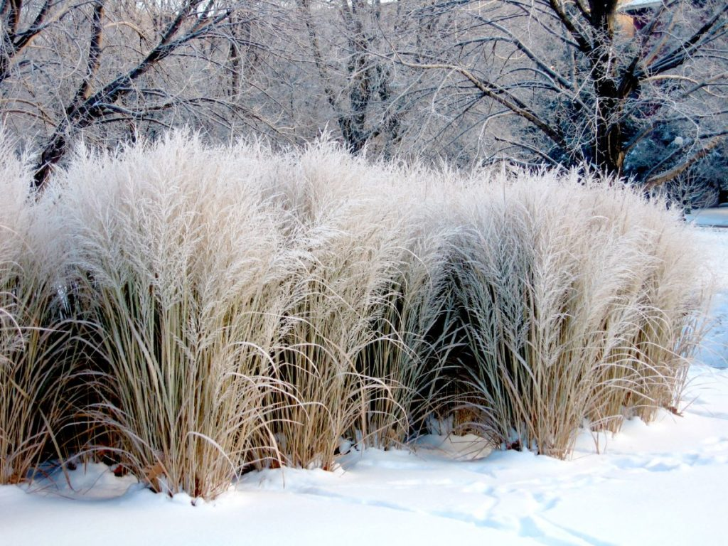 Miscanthus Flame Grass