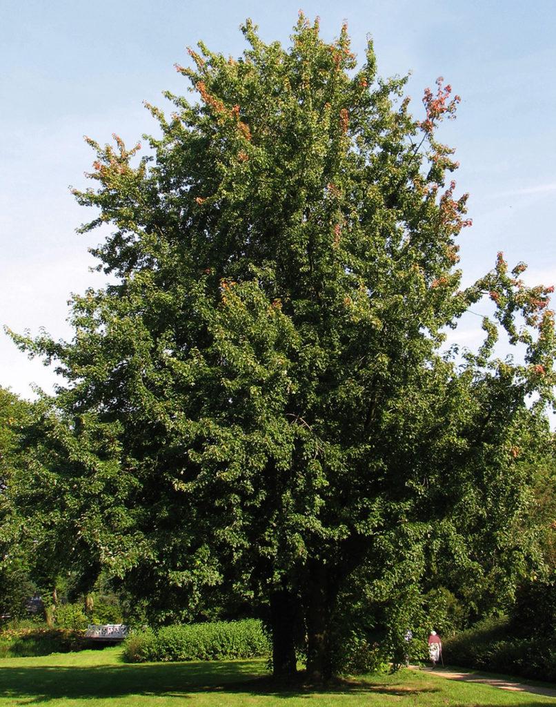 Silver Maple Tree | B. Rocke Landscaping | Winnipeg, Manitoba